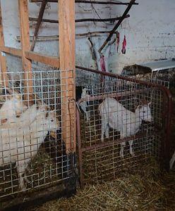 Mazowsze: Nielegalna hodowla i ubój zwierząt