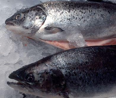Norwegia. Miliony łososi padły z powodu alg