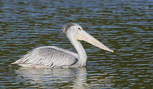 Pelikan mały (Pelecanus rufescens)