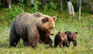 Niedźwiedzica z młodymi (zdjęcie ilustracyjne)