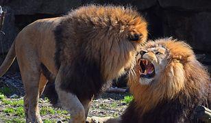 Zarządcy ogrodu zoologicznego Shoalhaven wraz z policją badają sprawę