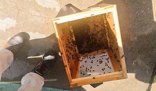 Rój pszczół na lotnisku Chopina. Interweniowali strażacy