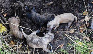 Sochaczew. Kobieta zakopała jednodniowe szczeniaki w ziemi