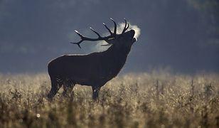 Trwa rykowisko jeleni w Bieszczadach. Drodzy turyści, to nie są niedźwiedzie!