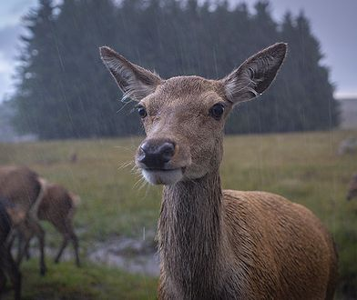 """Spadł deszcz, zwierzęta """"tańczą"""" w wodzie. Leśnicy udostępnili wideo"""