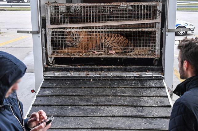 Tygrysy z Włoch. Transport zatrzymano na polsko-białoruskiej granicy