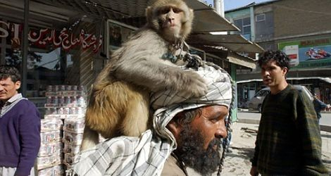 Małpy talibanu