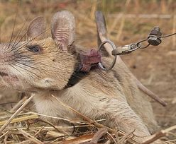 Szczur bohaterem narodowym. Uratował życie setkom osób