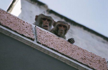 Małpy wolą kokainę od jedzenia