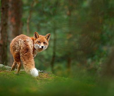 Okrutna broń zabije tysiące zwierząt.