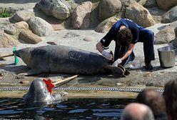 Martwe foki nad Bałtykiem. Rybacy zaczęli dostawać pogróżki