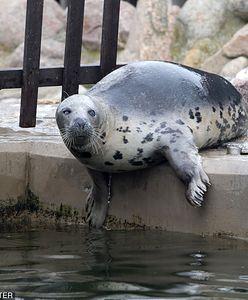 """Rybacy się doigrali. Ruszyła seria przesłuchań, jedno pytanie """"kto zabija foki"""""""