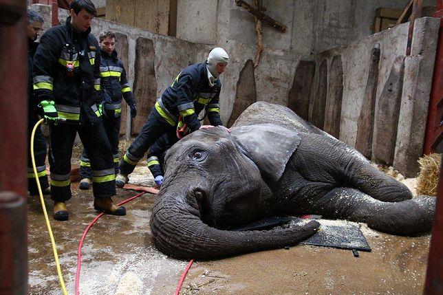 Słoń łapie pion. O tym, jak ciężko jest wstawać