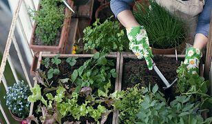 Balkonowe ogrodnictwo jest świetnym hobby dla każdego mieszczucha