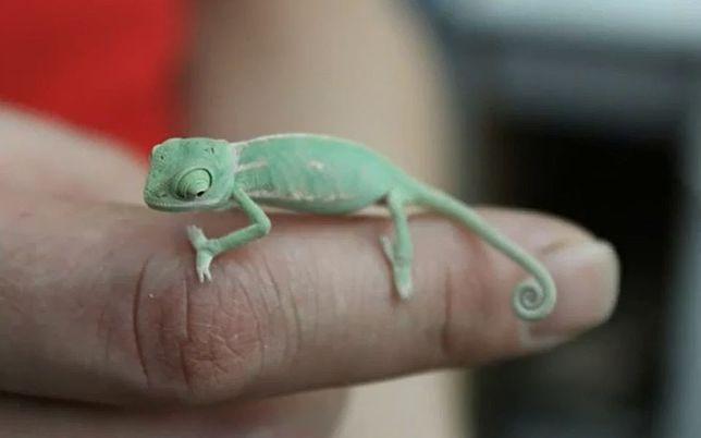 Małe kameleony poznają świat (wideo)