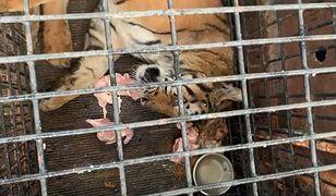 Tygrysy w klatakach. Nagranie obiegło włoskie media