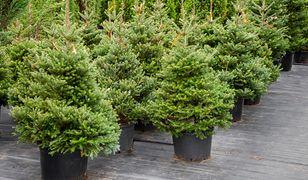 Choinka - jak wybrać drzewko?
