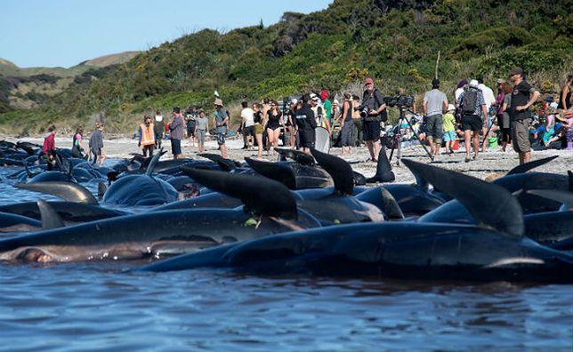 Nowa Zelandia: 240 waleni wyrzuconych na brzeg