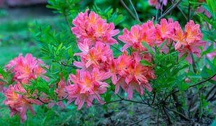 Piękny, kwitnący krzew do ogrodu – azalia japońska