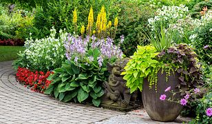 Nieszablonowa roślina o dzwonkowatych kwiatach - funkia