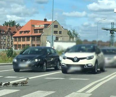 gdańsk kaczki