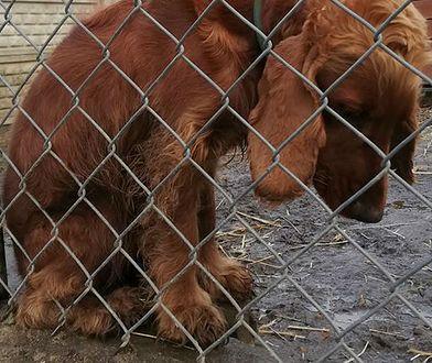 """""""Chciałbym takiego smutnego psa"""". 1000 maili w sprawie adopcji spaniela Kenzo"""
