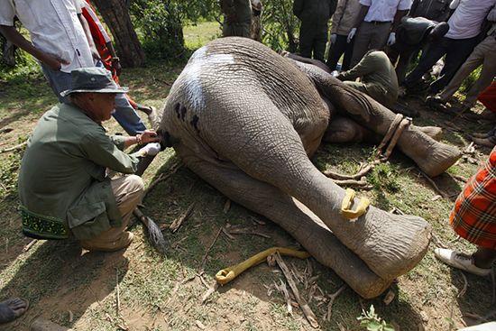 Wielkie przesiedlenie słoni