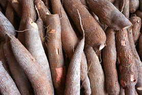 Maniok - pochodzenie, wartości odżywcze, toksyczna roślina, zastosowanie, zalecenia