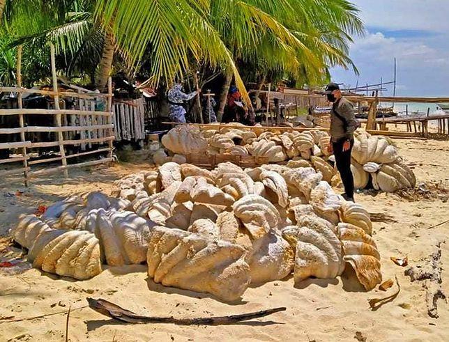 """""""Muszle giganty"""" z filipińskiej plaży."""