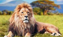 Lwy - królowie sawanny