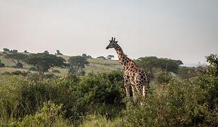 Kenia. Trwa ewakuacja żyraf, którym grozi śmierć