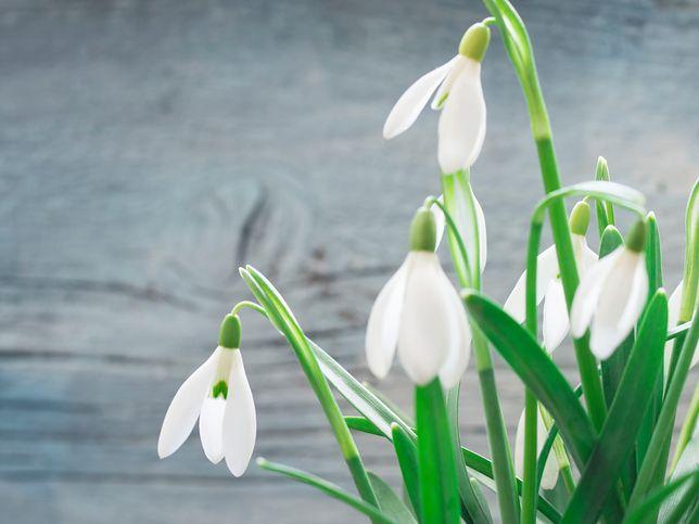 Pierwszy dzień wiosny 21 marca 2019 - kiedy będzie  wiosna kalendarzowa, a kiedy astronomiczna
