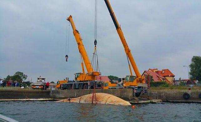 Akcja wyławiania kilkunastu tonowego wieloryba zakończona. Olbrzym jest już na brzegu