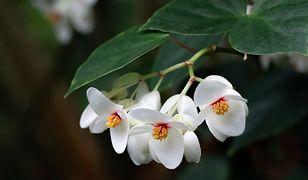 Begonia doniczkowa. Piękna roślina w doniczce
