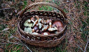 Grzybobranie. Jak prawidłowo zbierać grzyby - wycinać czy wykręcać?
