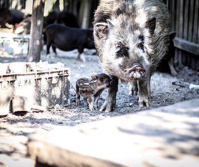 W Zagrodzie Dzikich Zwierząt w Cyganówce oprócz dzików przebywają świnki wietnamskie, jelenie i sarny