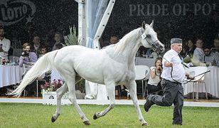Chaos podczas aukcji koni w Janowie Podlaskim