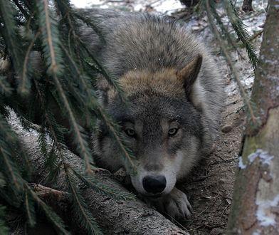 Wilczyca w lesie.