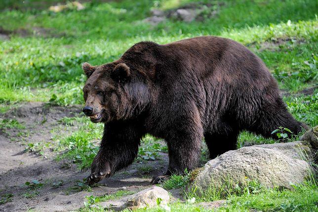 """Niedźwiedź oszalał. Szturmem """"wziął"""" bazę wojskową"""