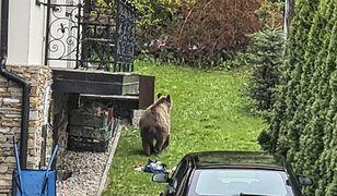Zakopane. Niedźwiedź buszuje w śmieciach pod samymi oknami domów. Jest apel do mieszkańców