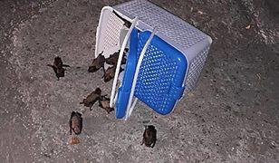 Schwytane nietoperze zostały potem wypuszczone na wolność