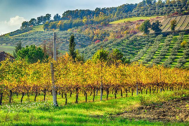 Październik i listopad to gorący czas dla właścicieli gajów oliwnych