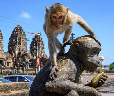 Makaki w Lop Buri stały się plagą