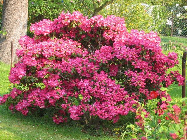 Rododendron: uprawa i pielęgnacja