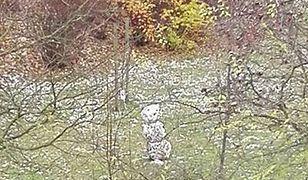 Spadł pierwszy śnieg, a to pierwszy bałwan na warszawskim Ursynowie
