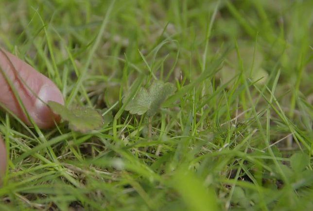 Trawnik bez skazy
