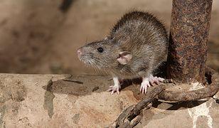 W tym roku w centrum Wrocławia jest więcej szczurów