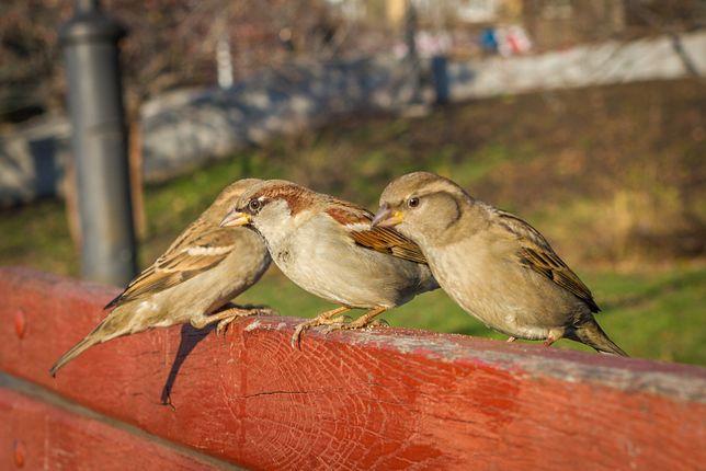 Ptaki w USA masowo wymierają