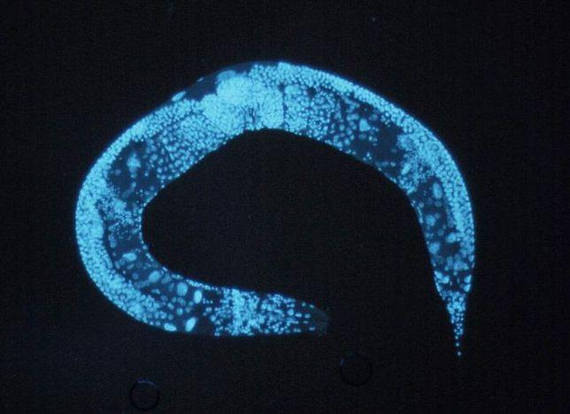 Przedstawiciel nicieni z gatunku Caenorhabditis elegans