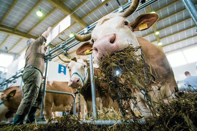Muczenie krów i zapach obornika mogą zostać objęte ochroną jako dziedzictwo wsi